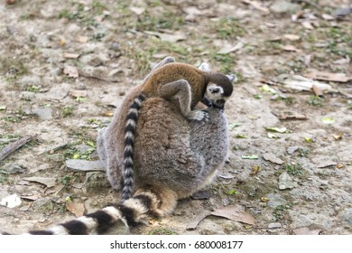 Lemur offspring clinging to it's mother
