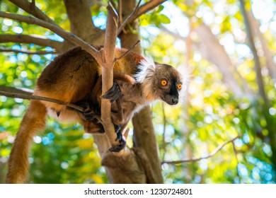 lemur on a tree endemic of lokobe island in nosy be, madagascar, africa