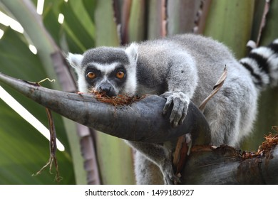 Lemur playing with some food