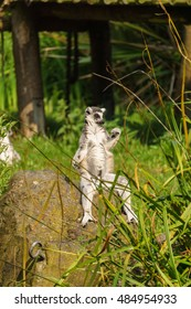Lemur in pose on the rock