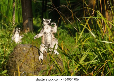 Lemur in pose under the sun