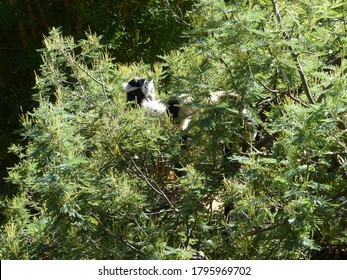 Lemur resting on the branches of a tree. Black and white ruffed lemur Kerr (Varecia variegata) is species of ruffed lemur, one of two which are endemic to the island of Madagascar. Family Lemuridae.