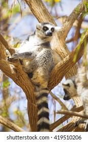 lemur resting in the shade.