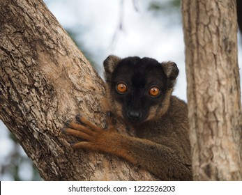 Lemur sits on a tree and looks at the camera