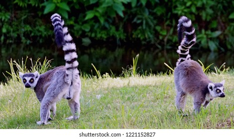 lemur sitting and lemurs watching