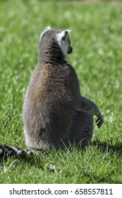 Lemur sitting as if meditating. Shot from behind. Back of an animal sitting upright in the sun.
