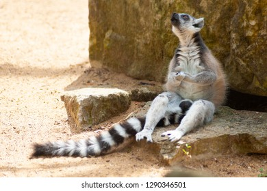 Lemur is sitting on the rock and singing in the zoo park.