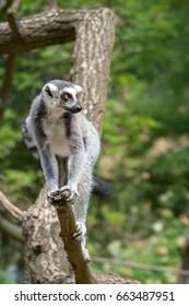 Lemur sitting on a tree in Prague zoo