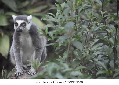Lemur surrounded by flourishing green foliage at Montgomery Zoo in Montgomery, Alabama