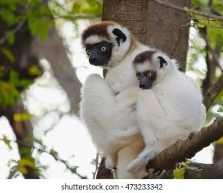Lemur in the tree. Verreaux's Sifaka, Propithecus verreauxi, mother and baby huddling, in the natural habitat, lemurs of Madagascar