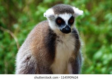 lemur in the zoo