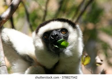 Lemur.Madagaskar.