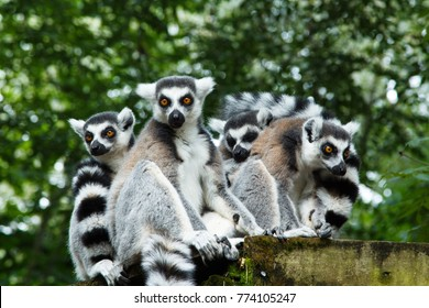 Lemurs, a group of ring-tailed lemurs