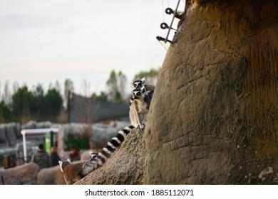 lemurs on the rock .