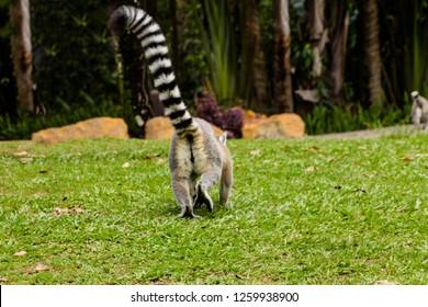 lemurs at play on Bindis island, australia zoo