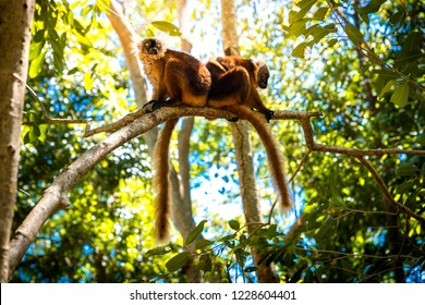 lemurs standing on a tree endemic of lokobe island in nosy be, madagascar, africa