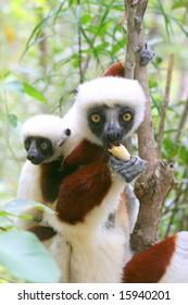 Lemurs (Verreaux's sifaka), Madagascar