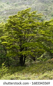 Lenga tree in the Patagonian forest. Lenga is a type of Nothofagus, or new world beech: Nothafagus pumilio. Trail to Glaciar Grey, Torres del Paine National Park, Patagonia, Chile.