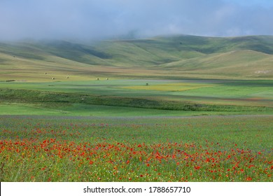 lentil fiorityre poppies and cornflowers national park sibillini mountains castelluccio italy europe