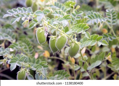 Lentil grows in a field. Bean plants close-up