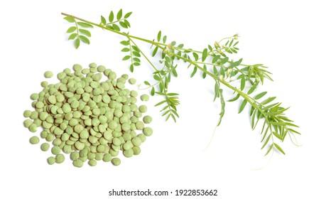Linsenpflanze mit getrocknetem grünem Saatgut oder Lens culinaris oder Lens esculenta. mit Blumen einzeln