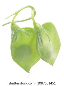 Lentil pods (Lens culinaris), one seed each
