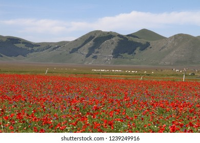 Lentils flowering in Pian Grande in Castelluccio di Norcia in Umbria Italy before the earthquakes in 2016 and 2017 by Ruth Swan