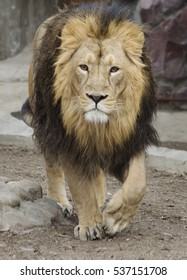 Leo The lion is the second largest of living big cats, second only to the tiger.