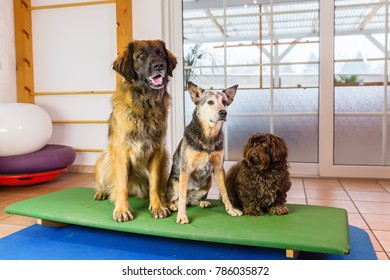 a Leonberger, an Australian Cattledog and a Havanese are sitting on a wobble board in an animal physiotherapy office