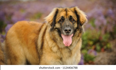 Leonberger dog outdoor portrait