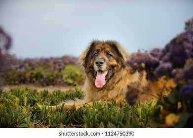 Leonberger dog outdoor portrait lying in field with purple spring flowers