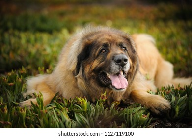 Leonberger dog outdoor portrait lying in ice plant