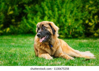 Leonberger dog outdoor portrait lying down in grass