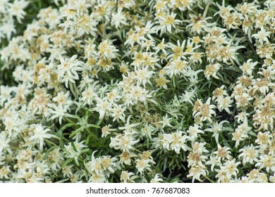 Leontopodium flowers edelweiss bloom july august stock photo leontopodium flowers edelweiss bloom from july to august small white flowers mightylinksfo