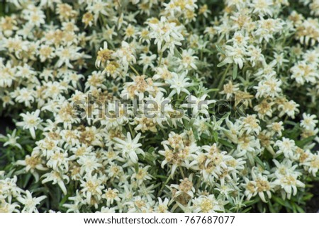Leontopodium flowers edelweiss bloom july august stock photo edit leontopodium flowers edelweiss bloom from july to august small white flowers mightylinksfo