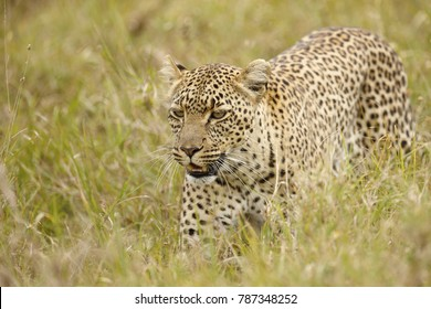A leopard in Africa's Serengeti National Park.