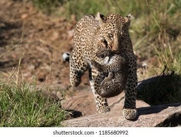 Leopard Bahati carrying her cub, Masai Mara, Kenya