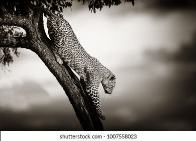 Leopard Bahati climbing down from a tree in Masai Mara, Kenya
