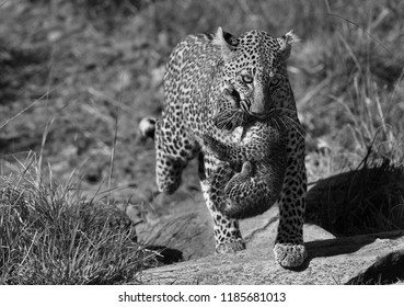 Leopard Bahati holding her cub in mouth and moving to safer place, Masai Mara