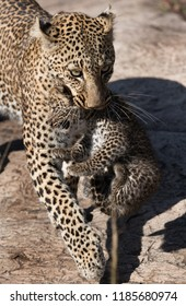 Leopard Bahati walking with her cub to safer place, Masai Mara, Kenya