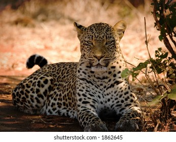 Leopard basking in the sun