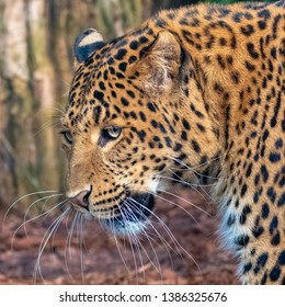 Leopard, a beautiful panther, portrait of profile