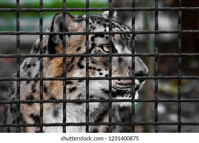 Leopard behind a dark frequent grid, a free beast in captivity.