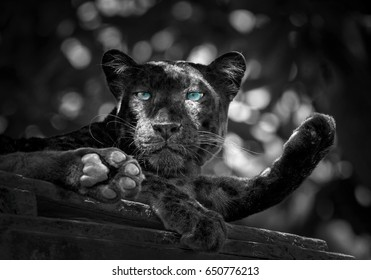 Leopard or black Panther.