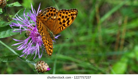 Leopard butterfly close up