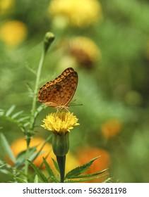 Leopard butterfly on marigold flower