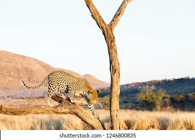 Leopard climbing in tree