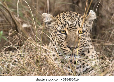 Leopard close-up, Masai Mara National Reserve, Kenya, Eastern Africa