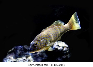 The leopard coral grouper fish in marine aquarium. Coral trout (Plectropomus leopardus) are the favourite target fish for the fishery because they are a good food fish and command high market prices.