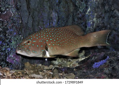 The leopard coral grouper fish in marine aquarium. The leopard coral trout (Plectropomus leopardus) is a species of fish in the Serranidae family.